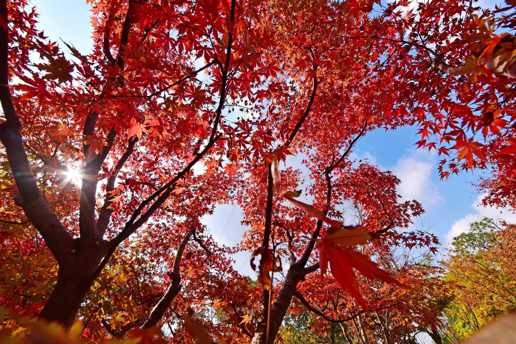 枫叶红了,进入冬天的江南无锡,才有深秋的美景,锡山区锡北镇。