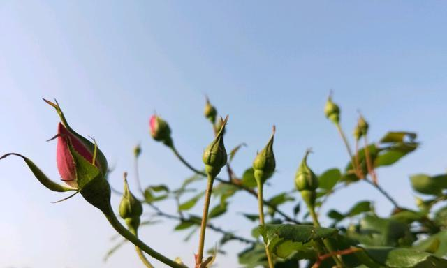 养月季用对肥,一茬花苞20多个,花朵鲜艳、硕大,花期180天