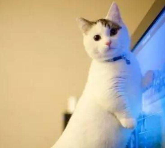 我喜爱的矮脚猫,如同行走的人民币,是大家的开心果