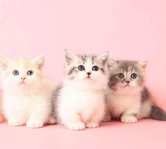 身体略长的曼基康猫,如同行走的人民币,你喜欢它吗