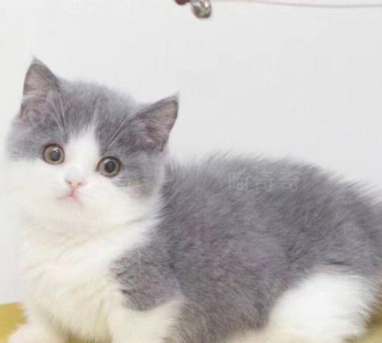 曼基康猫,如同行走的人民币,是大家的开心果