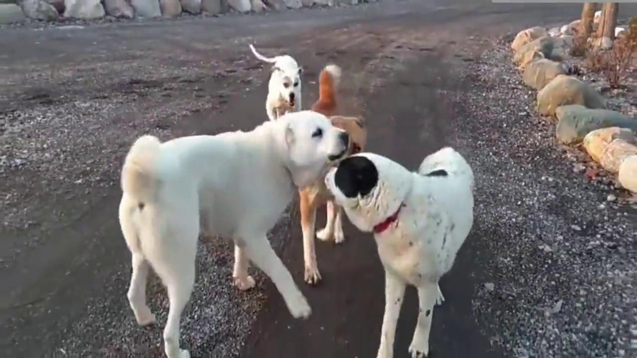 一群狗中黑社会相约街头打架,结果竟然是一帮怂狗!
