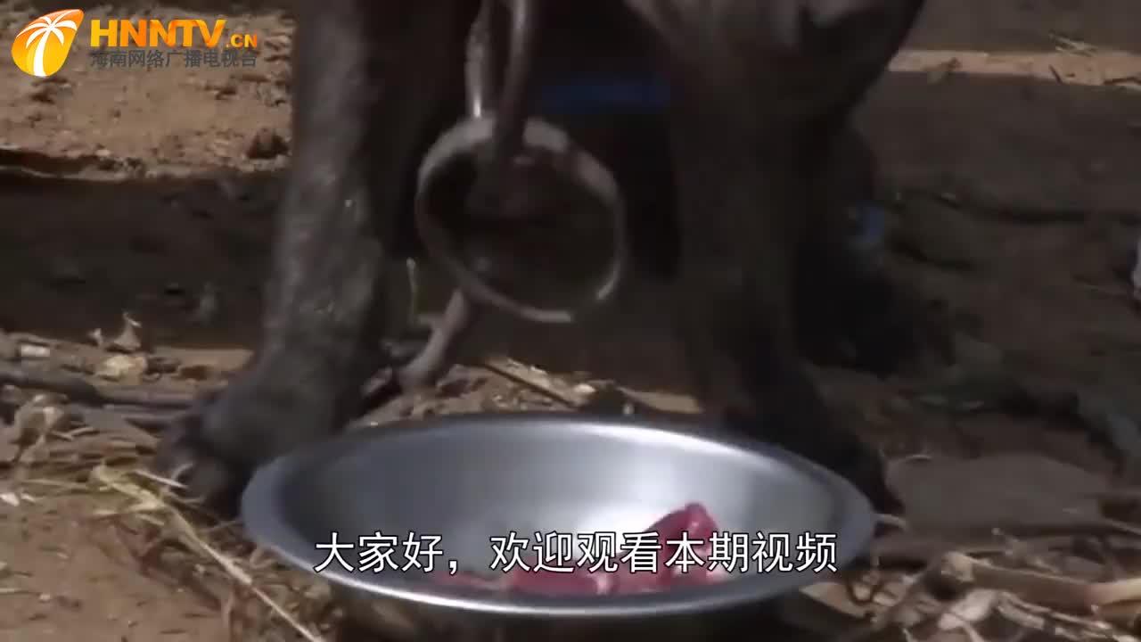 非洲人养鬣狗当宠物,铁链子真粗,牵出去怕是藏獒都得跪
