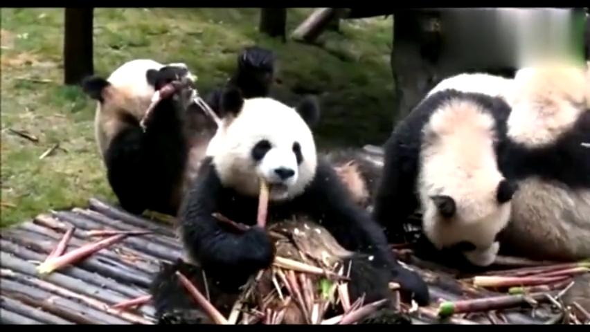 7只吃货大熊猫组团吃竹笋,一会功夫全解决了