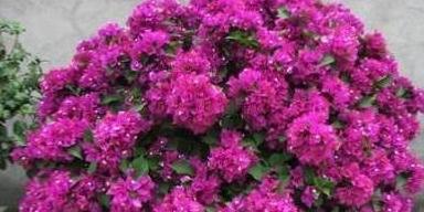 三角梅黄叶落花,2点就够养一生,花朵稠密、年年岁岁不停开