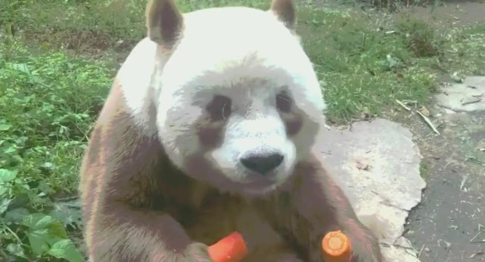 全世界唯一的棕色熊猫!