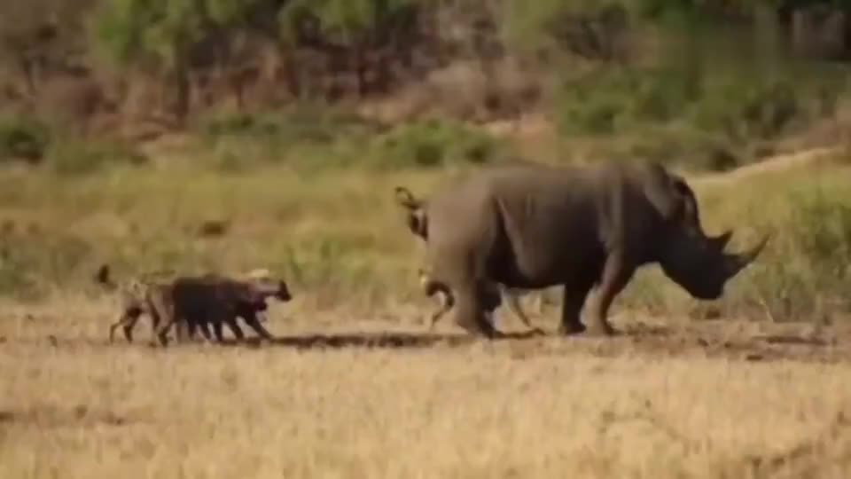 美国鬣狗骚扰白犀牛,这是什么造型呀