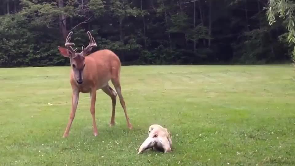 野鹿不小心闯入农场,呆萌法斗瞬间化身恶犬,小样简直太可爱了