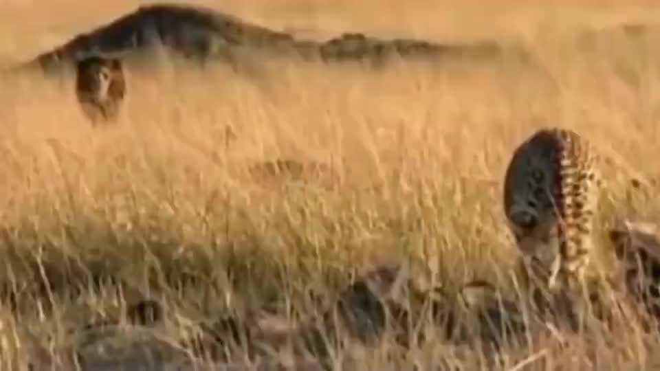 摄影师在户外拍下猎豹不敌雄狮,幼崽被杀!