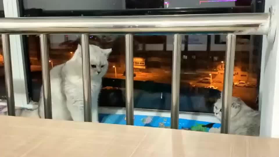 如何才能够让两只猫,快速的熟悉起来,河南表姐姐在线求解