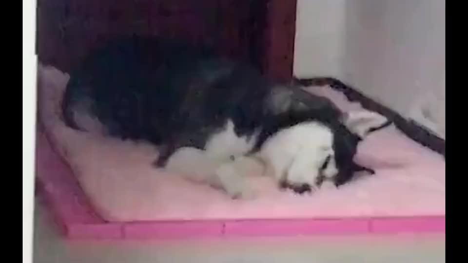 新买的毯子,哈士奇宝贝的不得了,开心的在上面蹭来蹭去