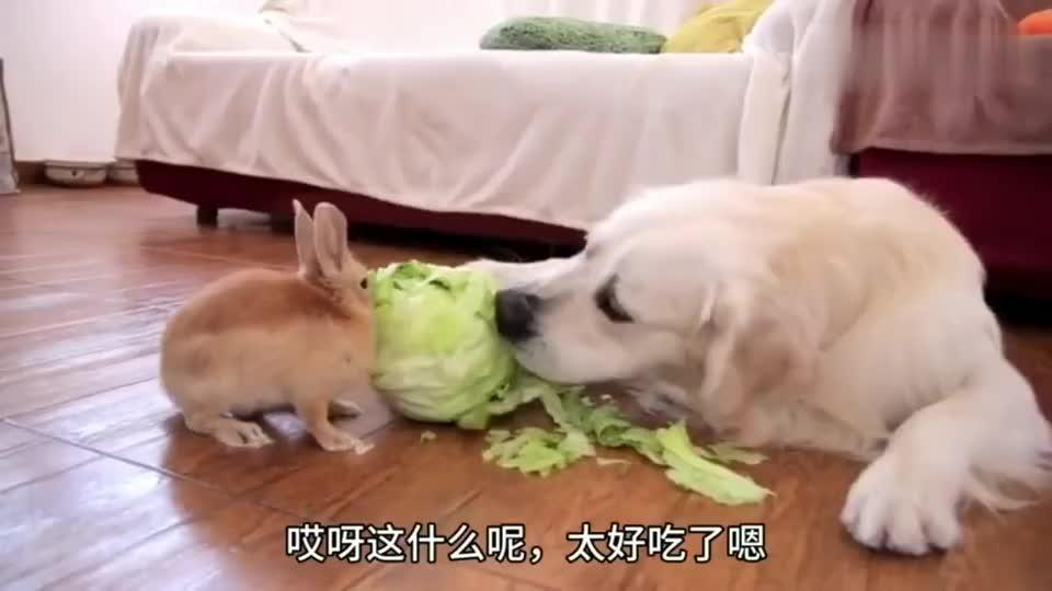 主人喂兔子吃青菜,结果金毛还发脾气,个头挺大脾气还不小了