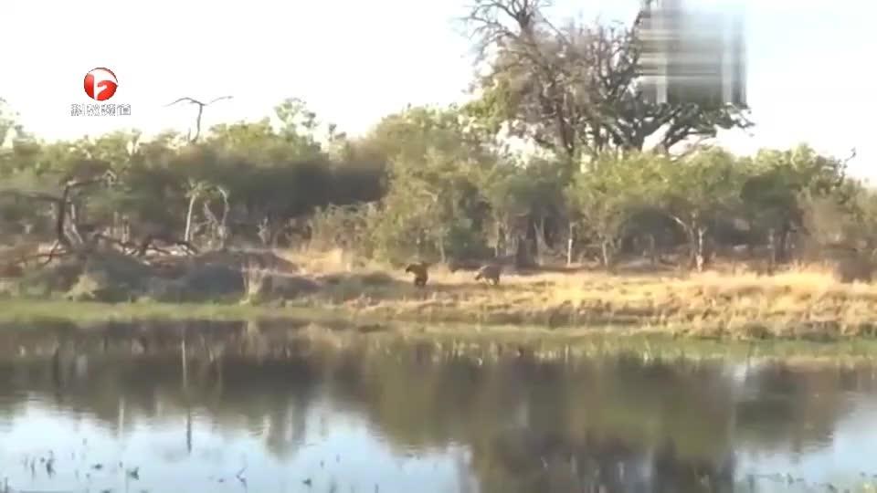 狭路相逢勇者胜,落单的鬣狗为躲避野犬群的攻击,直接逃到了水中