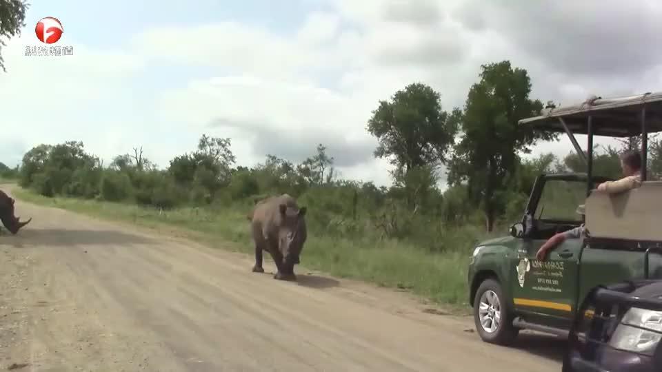 犀牛的脾气都这么怪么?稍有不注意就会被攻击,真是太惨了!