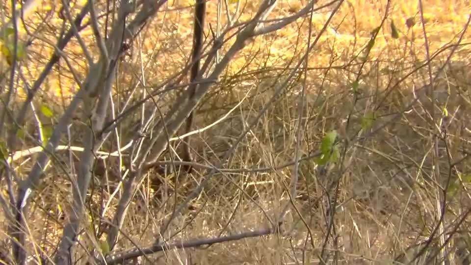 大蟒蛇:一只吃蛇的猫鼬跳起来一口把蛇头部咬碎