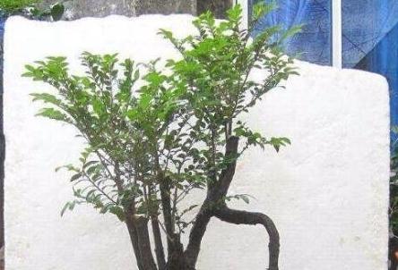 养在家的紫檀绿植,被外公偷养成了盆景,不仅镇宅更纳财!