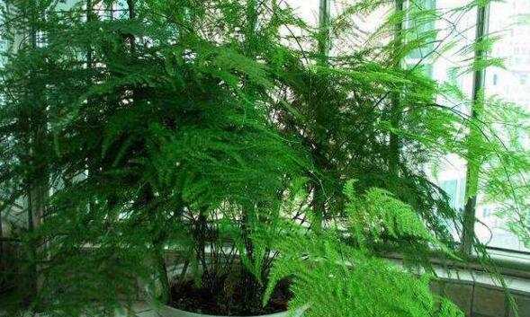 秋季养文竹,记住1少2多,30天冒新芽,告别黄叶