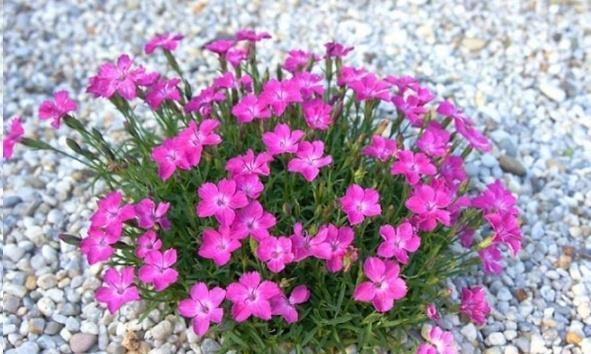 这花一年可开花300天,盆栽或庭院花坛均可种植,耐热又耐寒