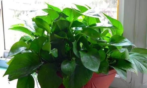 君子兰、绿萝长势变慢?用这些药水浇灌,枝繁叶茂,嫩叶蹭蹭长