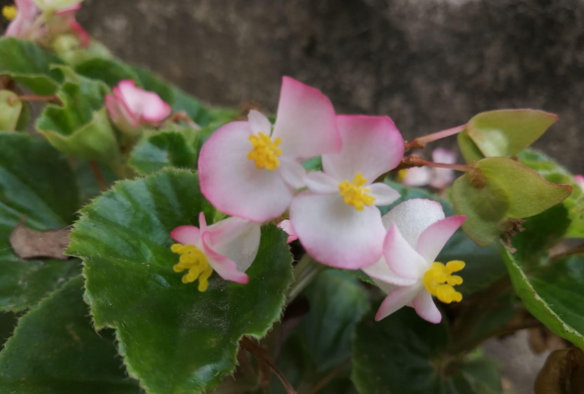 玫红四季秋海棠,粉粉嫩嫩真漂亮