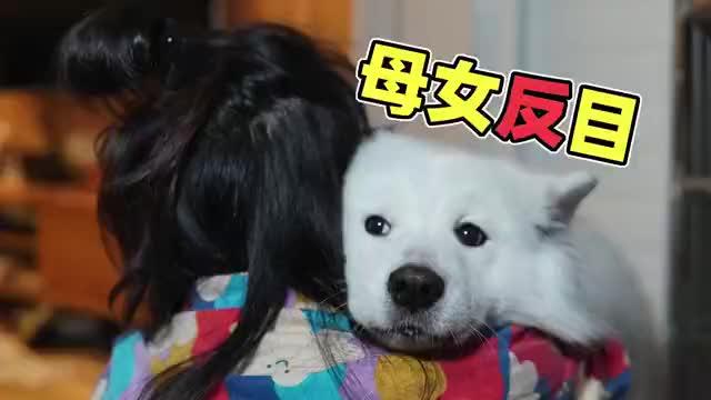 萨摩耶软糖散步回来饿昏了,妈妈只给吃两颗狗粮?母女感情受考验