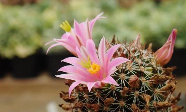 4种花春捂秋冻,才能开花鲜艳,花量大