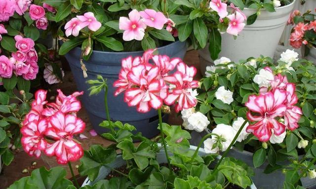 夏季阳台养花,有几件事不能做,不然花儿没精神!