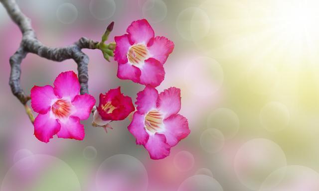 沙漠玫瑰萌芽在即,养护做2个变动,新芽蹭蹭冒,5月就见花