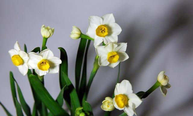 水仙不开花?用上3个小技巧,7天开出满盆花