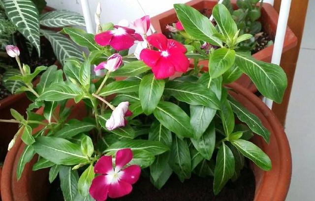"""6月养长春花,通过2步,生长旺盛,开花多几倍变成""""小花树"""""""