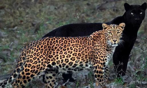 黑豹和花豹的情侣照走红网络:我就像是你的影子,不离不弃