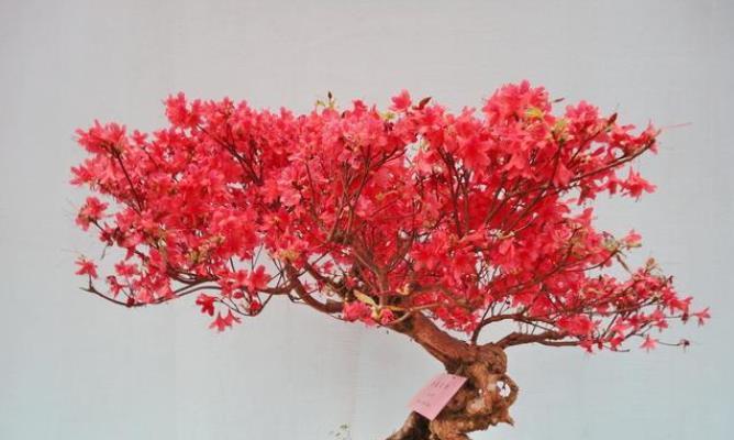 红枫盆栽摘叶有技巧,只需30天,新叶红彤彤,堪比二月花