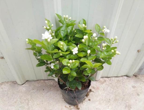 喜欢白色的茉莉花?不如就盆栽这2款,花开纯正,散发阵阵花香