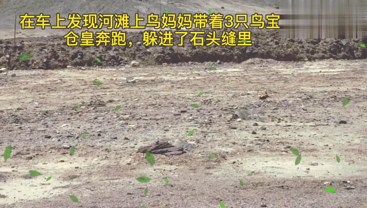 帕米尔高原自驾游,见人追捕大鸟一家,果断阻止,善哉,谁识此鸟