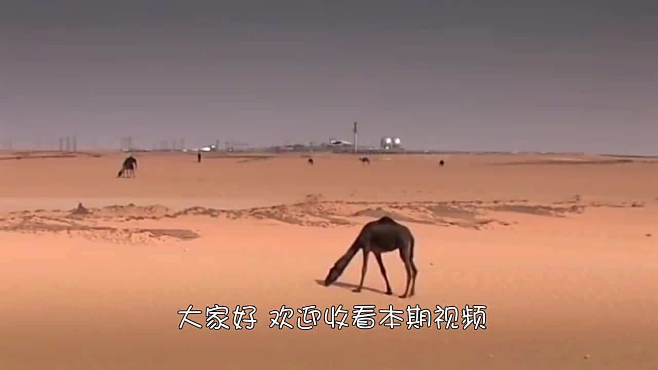 公骆驼打架太阴险,为赢配偶权攻击命门手,战败的一方很难再存活