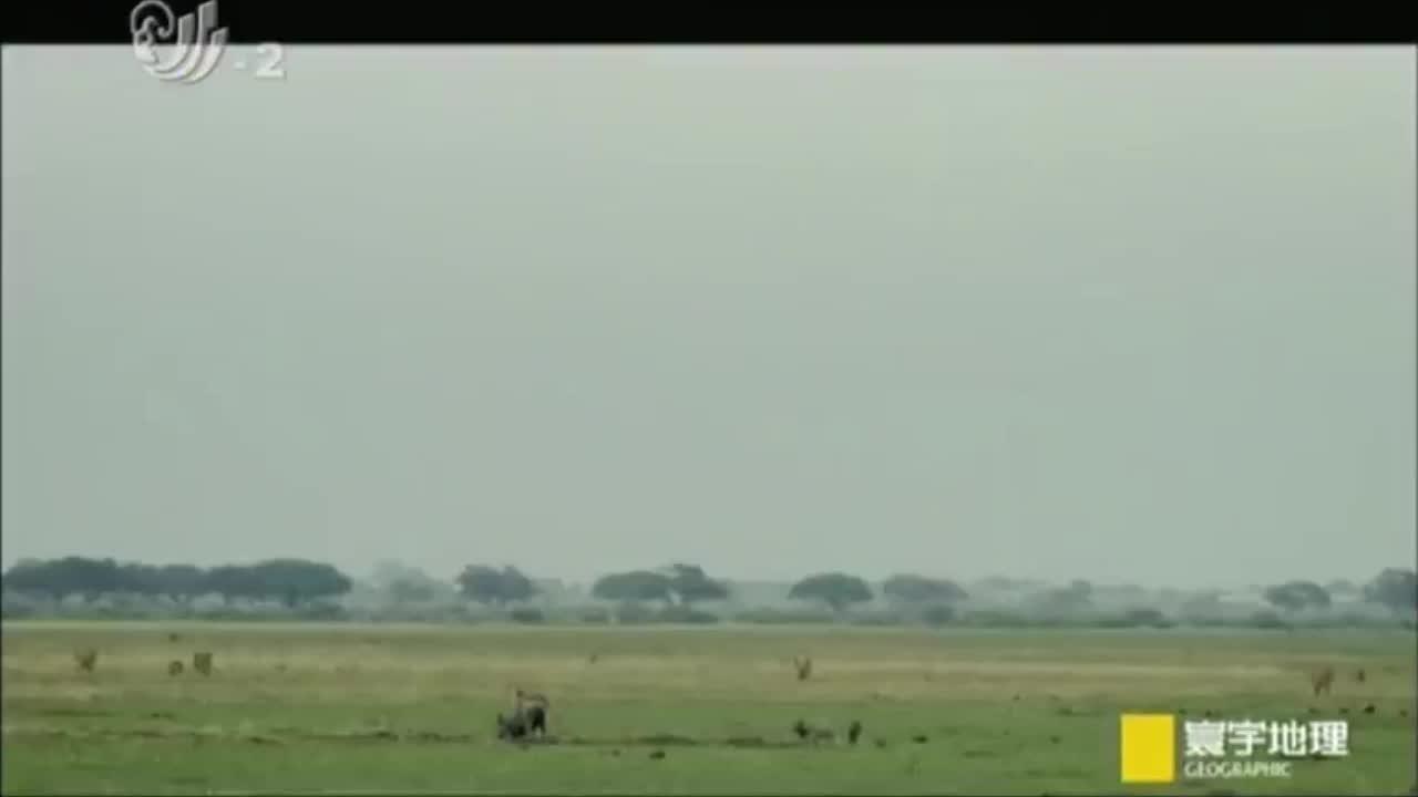鬣狗在喝水结果碰到了野犬群,鬣狗示弱得以重生,简直太聪明了!