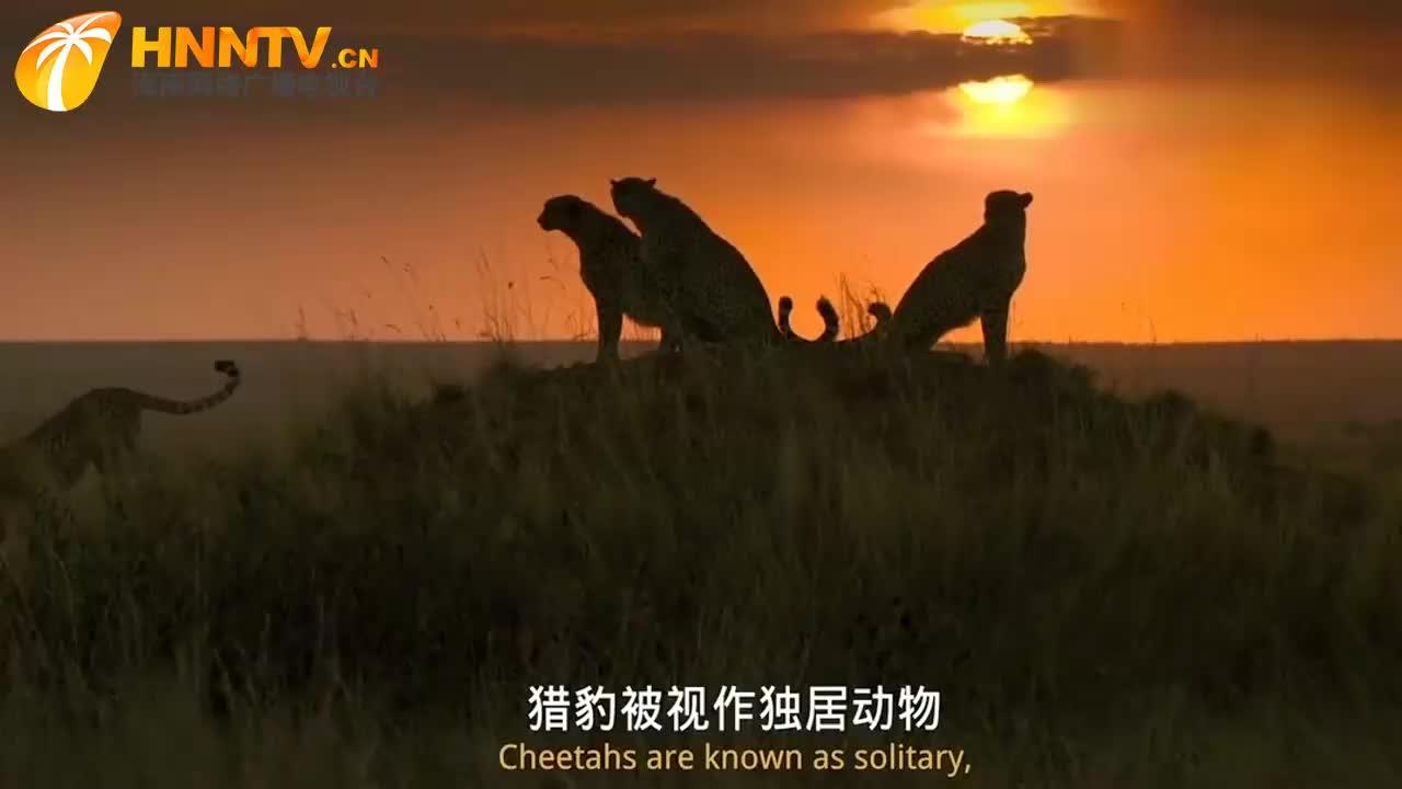 首个猎豹夜间捕猎高清视频,专用高灵敏摄像机全景记录