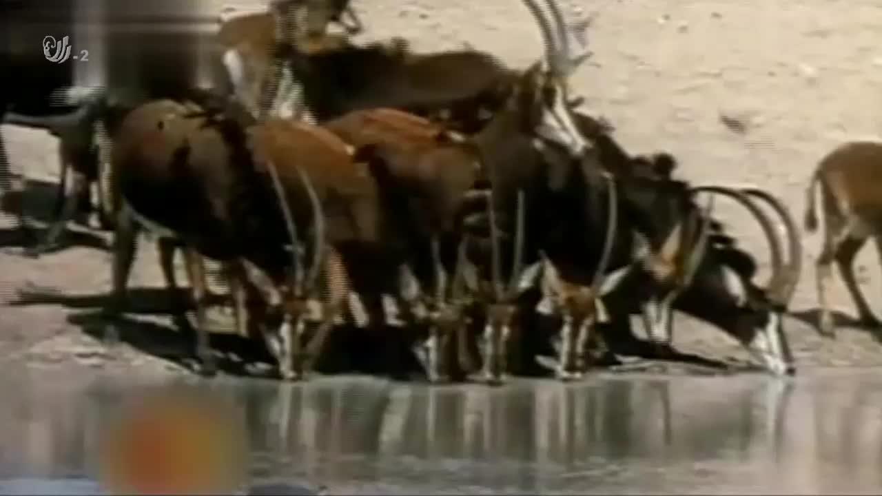 鳄鱼捕食黑斑羚,结果让母河马联想到自己的孩子,所以它果断出击