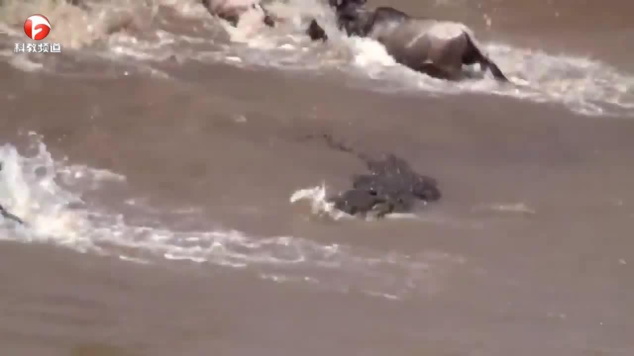 鳄鱼在水中偷袭猎物,真是阴险
