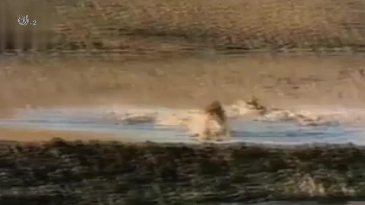 鳄鱼捕食黑斑羚,眼看猎物快到嘴边了,结果暖人的一幕出现了