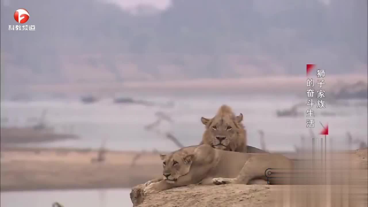 鳄鱼要吃狮子幼崽,雌狮急了,跳入水中救孩子
