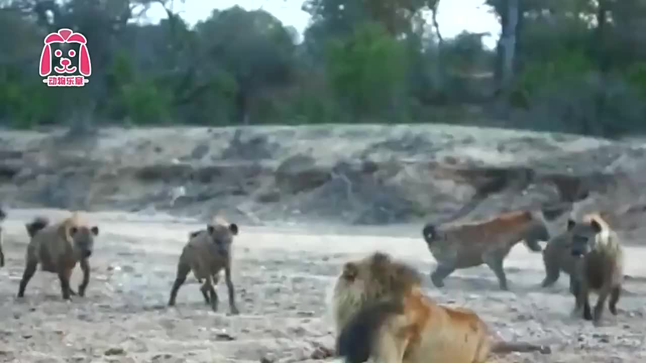 1对20的狮子,鬣狗竟一点便宜占不到,如此悬殊的场面太难得