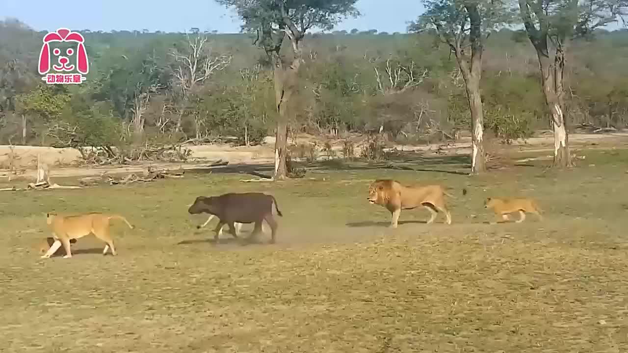 15头狮子围攻小象,小象却安然无恙!小象:再来10个我也不怕