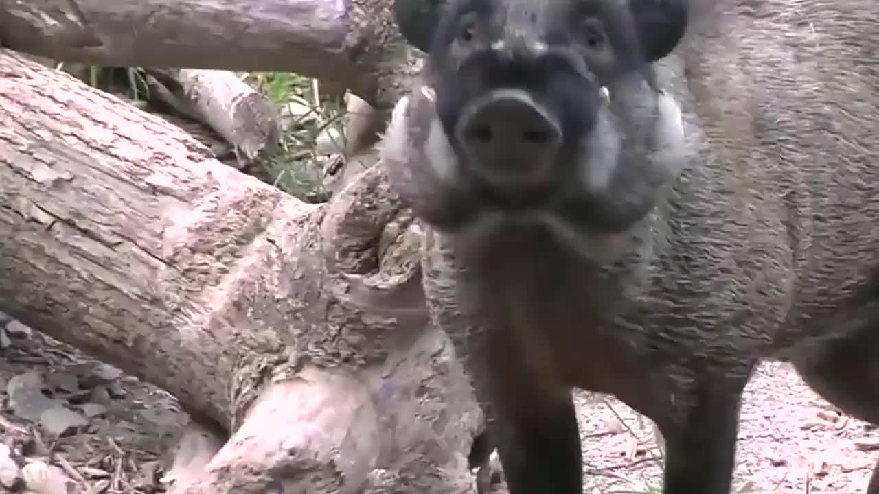 世界上最丑的猪,拥有锋利武器,偶尔还会吃吃荤!