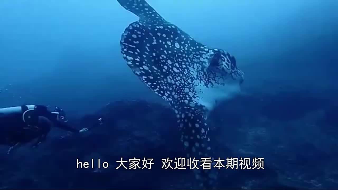 世界上最不会游泳的鱼,懒得要命常被渔民捉到