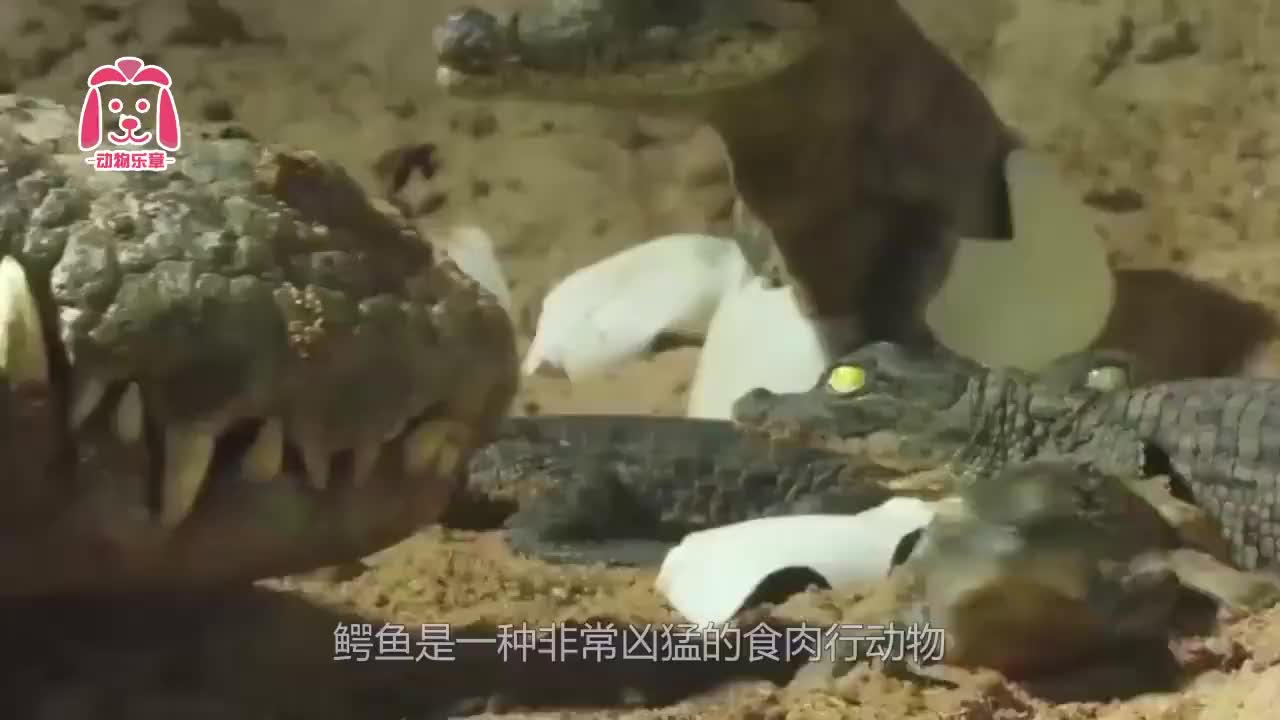 鳄鱼妈妈把刚出生的小鳄鱼含在嘴里,网友:担心咬下去