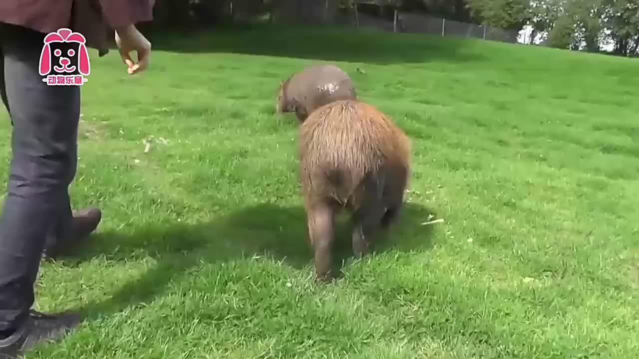 """世界上最大的啮齿动物,被誉""""爱心大使"""",成为新晋萌宠"""