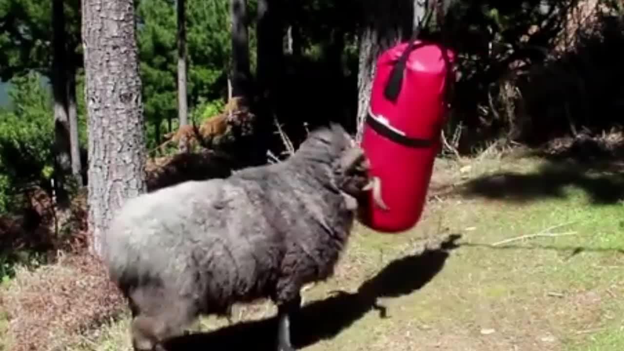 200斤公羊一头撞向8公斤沙袋,下一秒意外发生,镜头记录全程