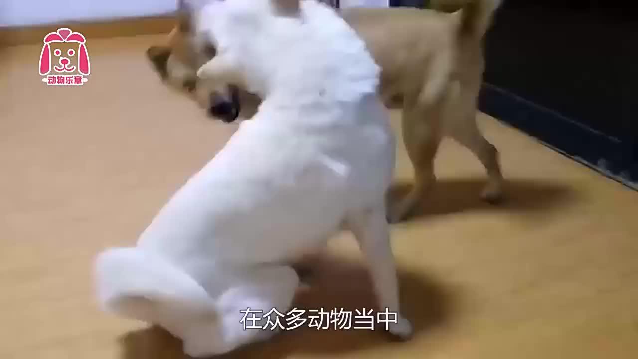 14岁爱犬去世时,留下一份礼物给主人,主人看到后瞬间泪奔!