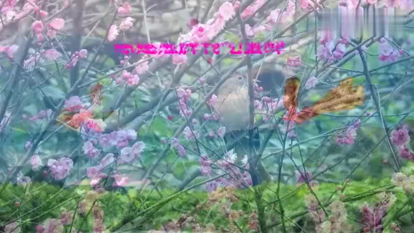 红梅花开蜜蜂采花蜜一不小心就被小鸟吃了真可怜